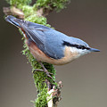 European Nuthatch by Bob Kemp