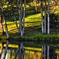 Evening Birches by Steve Harrington