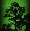 Evening Pine by Donna Bentley