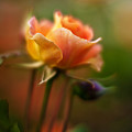 Evening Rose by Mike Reid