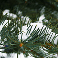 Evergreen by Kevin Phipps