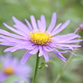 Everything Is Coming Up Daisies by Angela Siener