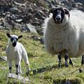 Ewe And Lamb No2 by John Cox