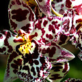 Exotic Orchids Of C Ribet by C Ribet
