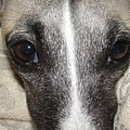 Eyes Whippet by Marie-france Quesnel