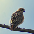 Falcon by Bill Cannon