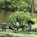Family Outing Of Geese by Margie Avellino