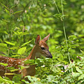 Fawn Relaxing by Rodney Cammauf