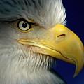 Female Bald Eagle Alaska by K C Lynch