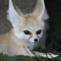 Fennec Fox by Keith Lovejoy