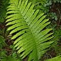 Fern Leaf In June by Kent Lorentzen