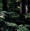 Ferns In The Forest Wc by Lyle Crump