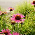 Field Of Coneflowers by Valerie Fuqua