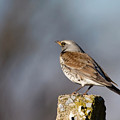 Fieldfare Watching  by Cliff Norton