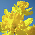 Fine Art Daffodils Floral Spring Flowers Art Prints Canvas Baslee Troutman by Baslee Troutman