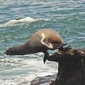 Fishing Sea Lion by Daniel Hebard