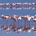 Flamingo Reflection - Lake Nakuru by Sandra Bronstein