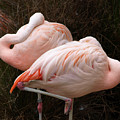 Flamingo Siesta by Laura Allenby