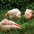 Flamingo's At Rest by ShadowWalker RavenEyes Dibler