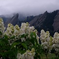 Flatirons White Lilacs by George Tuffy
