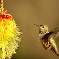 Flight Of The Hummer by Mike  Dawson