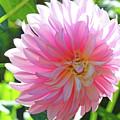 Floral Art Prints Pink Dahlias Sunlit Baslee Troutman by Baslee Troutman