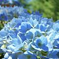 Floral Fine Art Blue Hydrangeas Baslee Troutman by Baslee Troutman