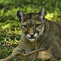 Florida Panther Agitated by Keith Lovejoy
