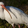 Florida White Ibis  Eudocimus Albus by Allan  Hughes