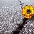 Flower In Asphalt by Carlos Caetano