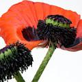 Flower Poppy In Studio by Bernard Jaubert