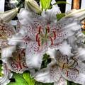 Flower Shop Lillies by Chris Fleming