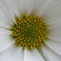 Core Of A Daisy by Shannon Turek