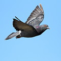 Flying Pigeon . 7d8640 by Wingsdomain Art and Photography