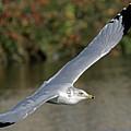 Flying Sea Gull - Eugene Oregon by Randall Ingalls
