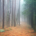 Forest Trail Through Pines by John Burk