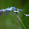 Forget-me-not 2 by Jouko Lehto