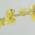 Forsythia Sprig by Glenda Zuckerman