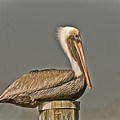Fort Pierce Pelican by Trish Tritz