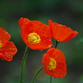 Four Poppies by Lori Tambakis