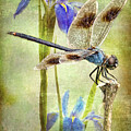 Four Spotted Pennant And Louisiana Irises by Bonnie Barry