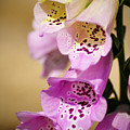 Fox Gloves by Bill Cannon