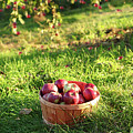 Freshly Picked Apples In The Orchard  by Sandra Cunningham