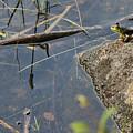 Frog At Pond by Jack Goldberg