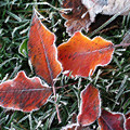 Frosted Leaves by Shari Jardina