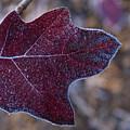 Frosty Maroon Leaf by Douglas Barnett