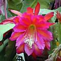 Fuchia Cactus Flower by Douglas Barnett