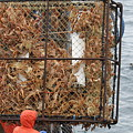 Full Crab Pot by Dean Gribble