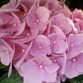 Fwc Beautiful Pink Hydrangea by Faith Works Creations