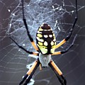 Garden Spider by Bob Guthridge
